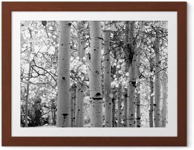 Ingelijste Poster Zwart-wit beeld van ratelpopulier bomen