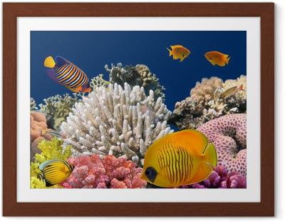 Poster i Ram Undervattensliv av en hård-korallrev, Röda havet, Egypten