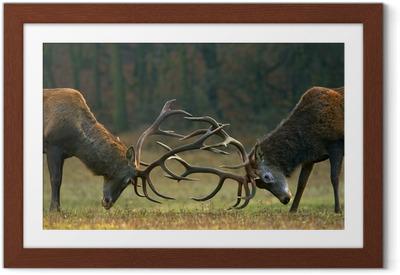 Plakat w ramie Red walka jelenia