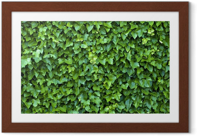 ivy wall Framed Poster