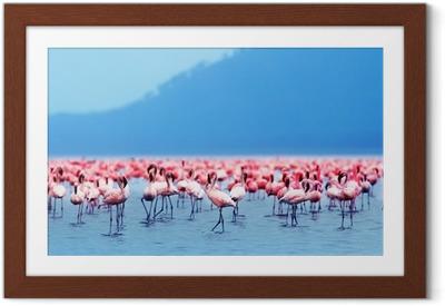Innrammet plakat Afrikanske flamingoer