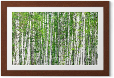 Birch forest. May Framed Poster