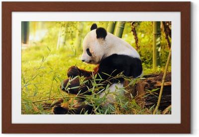 Gerahmtes Poster Große Panda sitzt auf dem Waldboden, der Bambus