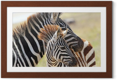 Baby zebra with mother Framed Poster