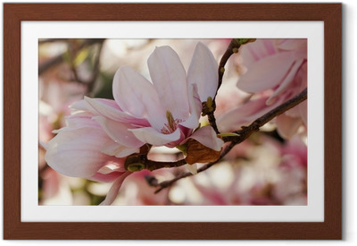 Magnolia tree Framed Poster