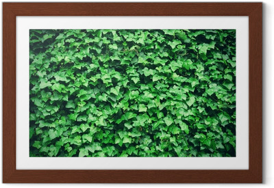 Thick green ivy leaves background Framed Poster