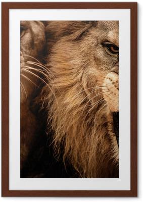 Poster in Cornice Close-up colpo di due leone ruggente