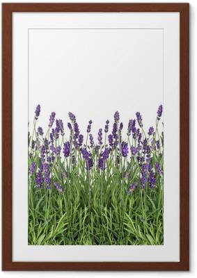 Poster en cadre Fleurs de lavande isolées sur blanc