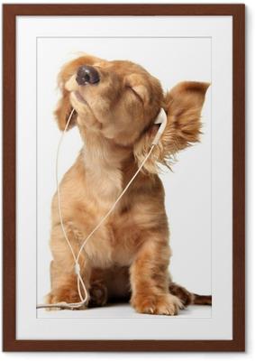 Ingelijste Poster Jonge pup het luisteren naar muziek op een koptelefoon.