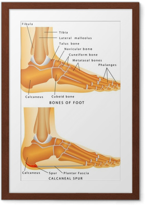 Bones of the Foot and Ankle Framed Poster