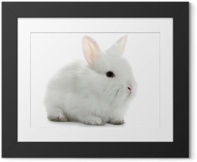 Ingelijste Poster Konijnkonijntje baby geïsoleerd op witte achtergrond