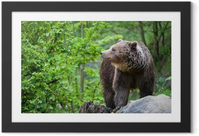 Poster en cadre L'ours brun (ursus arctos lat.)