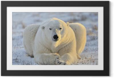 Póster com Moldura Polar bear lying at tundra.