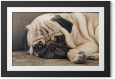 Pug relaxing on sofa looking at camera Framed Poster