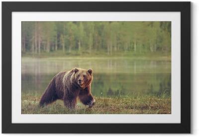 Poster en cadre Big ours marche mâle dans la tourbière au coucher du soleil