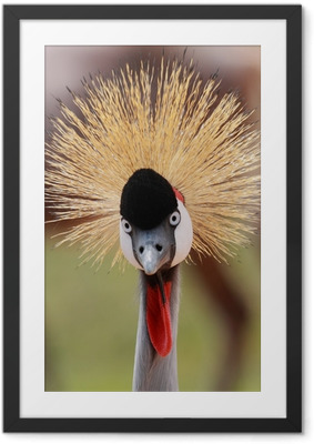 crowned crane Framed Poster