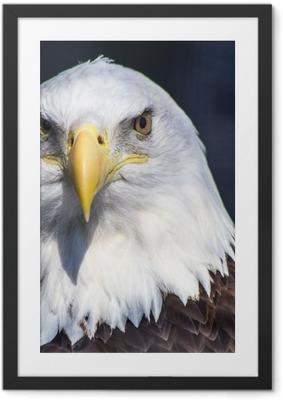 Ingelijste Poster Amerikaanse zeearend