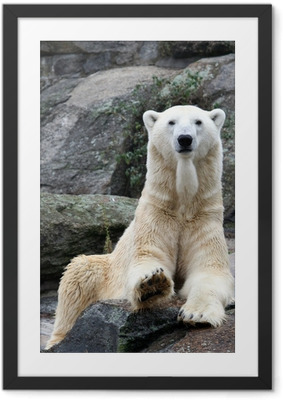 Poster en cadre Polar bear portrait.