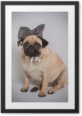 Funny Pug/Funny Pug at white background Framed Poster