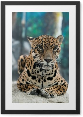 jaguar ( Panthera onca ) Framed Poster