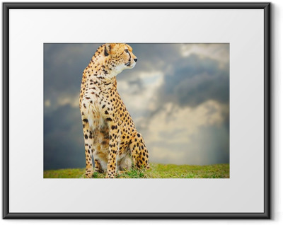Innrammet plakat The Cheetah (Acinonyx jubatus) i afrikanske savanna.