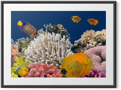Póster com Moldura Underwater life of a hard-coral reef, Red Sea, Egypt