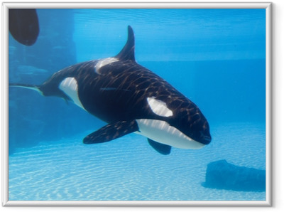 Ingelijste Afbeelding Orka (Orcinus) in een aquarium