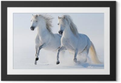 Obrazek w ramie Dwa galopujący śnieżnobiałe konie