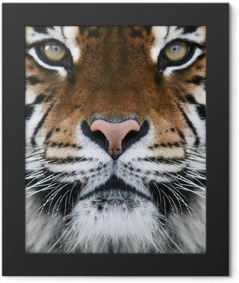 a tiger Framed Poster