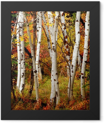 Fall Birch Trees Framed Poster