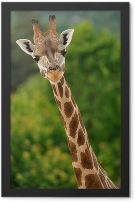 Giraffe head with neck Framed Poster