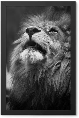 Portrait of Lion Looking Upwards Framed Poster