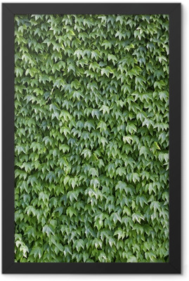 The wall brick covered by green leaves Framed Poster
