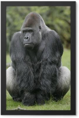 Western lowland gorilla, Gorilla gorilla Framed Poster