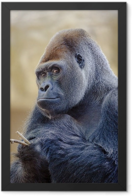 Silverback gorilla. Framed Poster