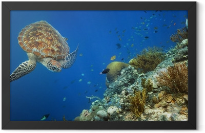 Sea turtle swimming over the coral reef. Framed Poster