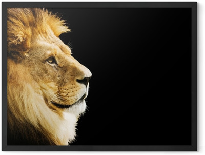 Lion portrait with copy space on black background Framed Poster