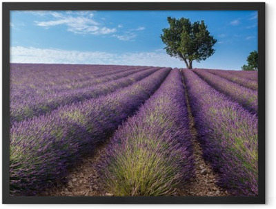 Lavender field in Valensole plateau, Provence (France) Framed Poster