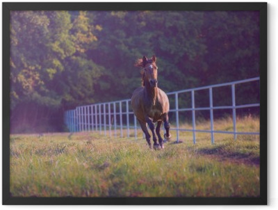 Brown horse galloping on the trees background along white fence at the summer Framed Poster
