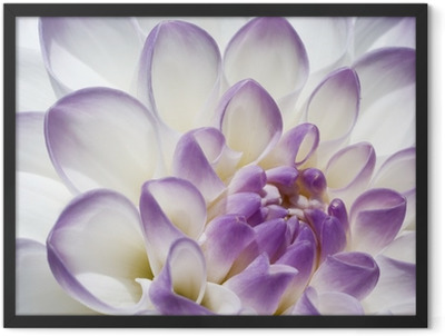 White and purple Dahlia close up Framed Poster