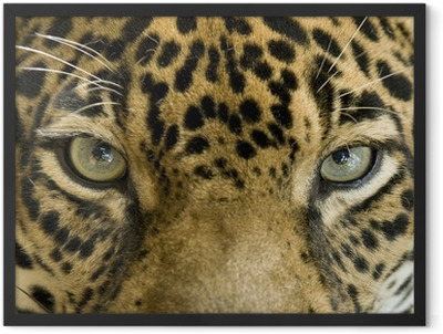 close up the eyes of a beautiful jaguar or panthera onca Framed Poster