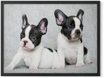 two french bulldog puppies Framed Poster