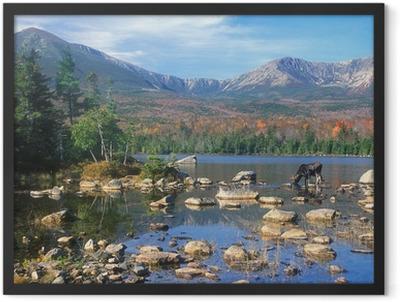 Bull Moose feeding in pond below Mount Katahdin, Maine Framed Poster
