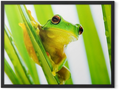Small green tree frog holding on palm tree Framed Poster