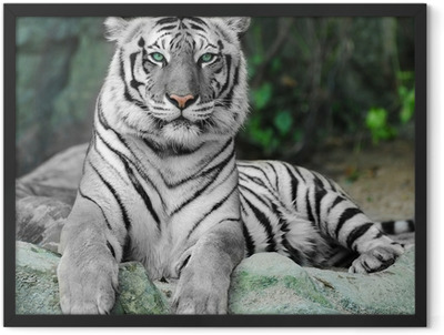 WHITE TIGER on a rock in zoo Framed Poster