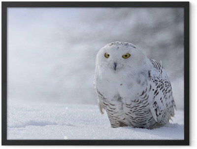 snowy owl sitting on the snow Framed Poster