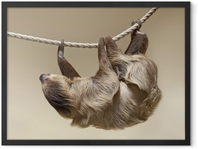 Two-toed sloth Framed Poster