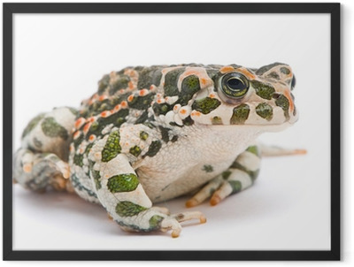 Bufo viridis. Green toad on white background. Framed Poster