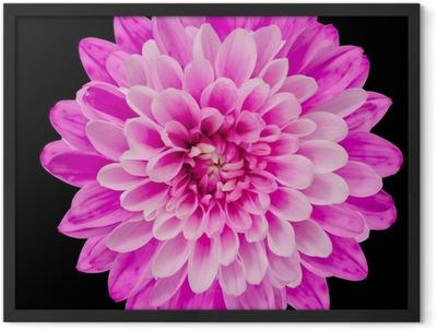 Pink Chrysanthemum Flower Isolated on Black Framed Poster