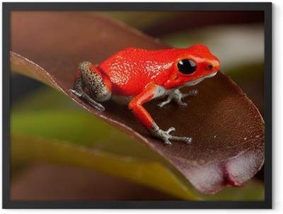 red frog Framed Poster